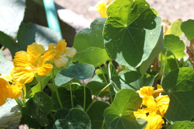 Gotta have nasturtiums at the edge of the beds. This one was a volunteer from last year. The best kind!