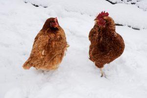 chicken-1911144__340