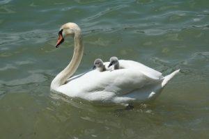 swan-2121797__340