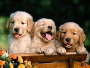 puppies_championline_62324